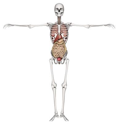 3D skeleton with internal organs